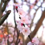 春らしく桜っぽい木を撮った(多分あんずの木)