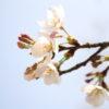 近所でも桜が咲きはじめました。バイトには落ちました。