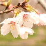 自宅周辺の桜の状況