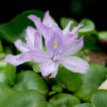 ホテイアオイの花が咲いた話